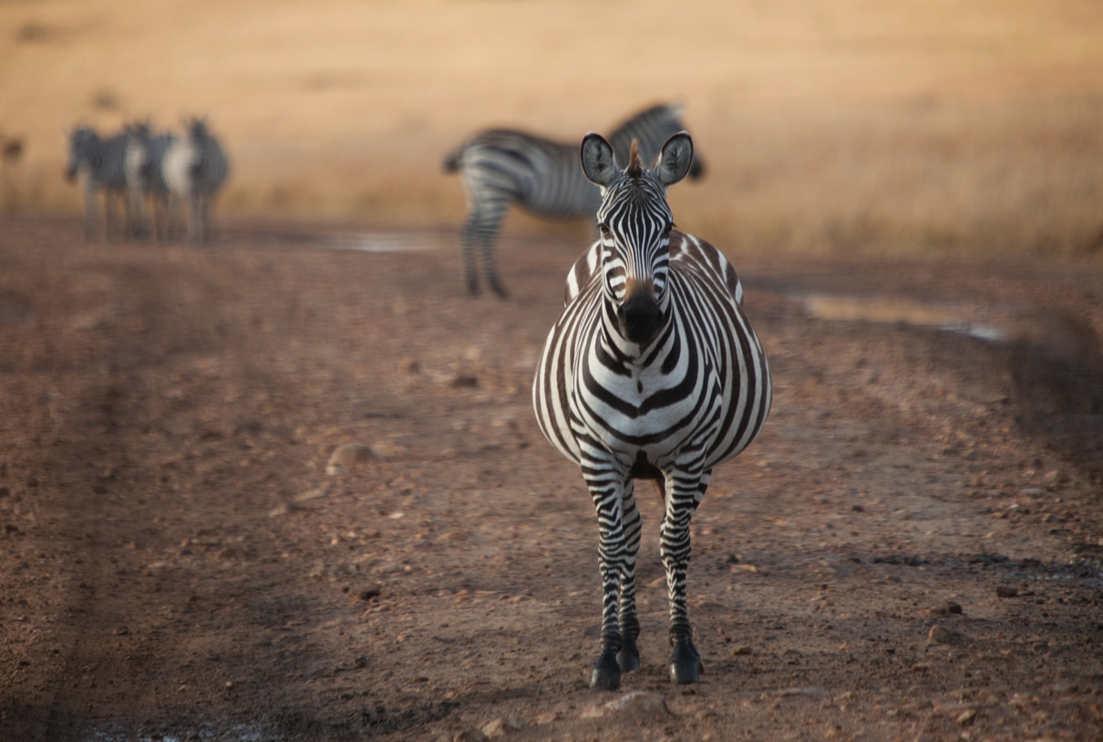 Travel/documentary: Zebras in wildlife